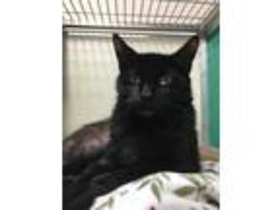 Adopt Claire a All Black Domestic Shorthair / Domestic Shorthair / Mixed cat in