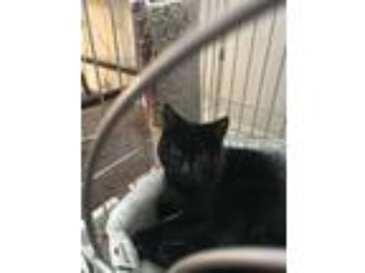 Adopt Kitty a All Black Domestic Shorthair / Mixed cat in Chandler