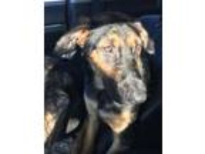 Adopt Bailey a Rottweiler, Mixed Breed