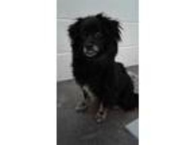 Adopt Violet 'Eve' a Pekingese / Pomeranian / Mixed dog in Newberg