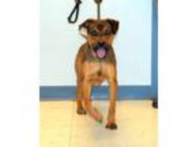 Adopt Tate 6614 a Brown/Chocolate - with Black Husky / Mixed dog in Pryor