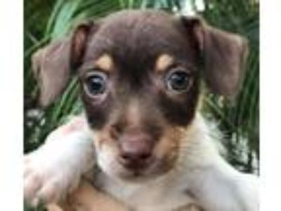Adopt Star#1M a White - with Brown or Chocolate Rat Terrier / Jack Russell