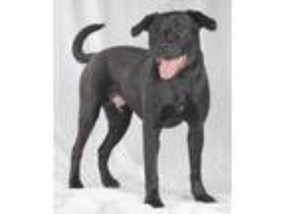 Adopt Duster a Black Labrador Retriever, American Staffordshire Terrier