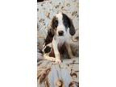Adopt Evan a Brown/Chocolate - with White Hound (Unknown Type) / Mixed dog in