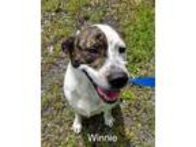 Adopt Winnie a Brindle - with White Boxer / Hound (Unknown Type) / Mixed dog in