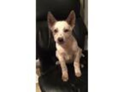 Adopt Ash a Australian Cattle Dog / Blue Heeler