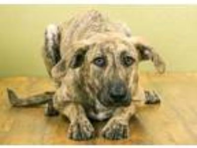 Adopt CaraCara a Red/Golden/Orange/Chestnut Mountain Cur / Mixed dog in West