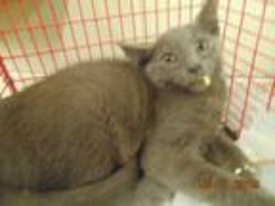 Adopt CHECKERS a Gray or Blue Domestic Shorthair / Mixed (short coat) cat in