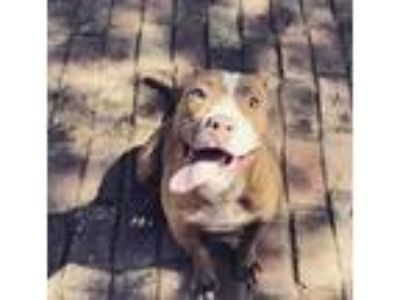 Adopt Bambi a Tan/Yellow/Fawn - with White American Pit Bull Terrier / Mixed dog