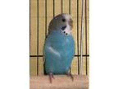 Adopt Richard a Blue Parakeet - Other / Mixed bird in Lowell, MA (25276852)