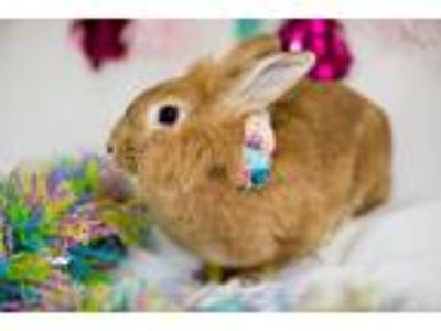 Adopt Goldie and Patches a Blond/Golden Rex / Mixed (short coat) rabbit in