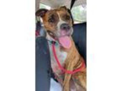 Adopt Trea a Pit Bull Terrier, Boxer