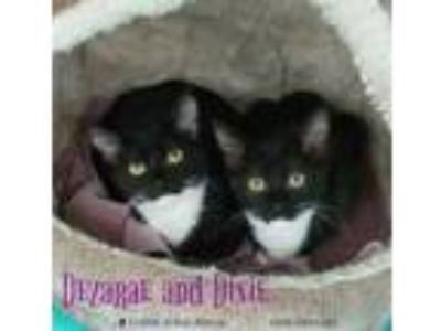 Adopt Dezarae a Domestic Short Hair