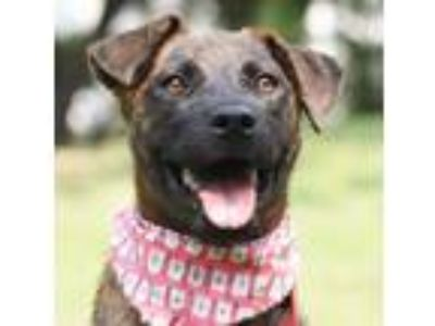 Adopt Cali a Brindle Labrador Retriever / Hound (Unknown Type) / Mixed dog in