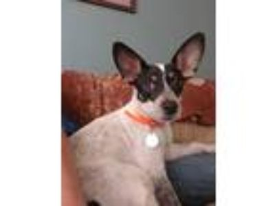 Adopt Snookie a Australian Cattle Dog / Blue Heeler, Terrier