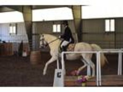 Elegant Lusitano mare with many talents Must sell