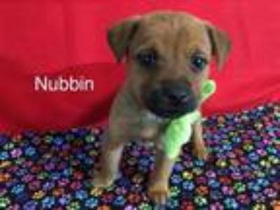 Adopt Nubbin a Brown/Chocolate Labrador Retriever / Australian Shepherd / Mixed