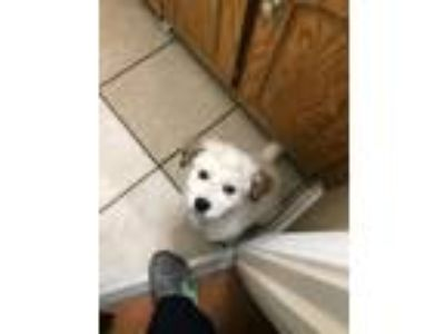 Adopt Vinnie a White Great Pyrenees / Blue Heeler / Mixed dog in Boonsboro