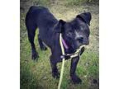 Adopt Suede Davis Lonestar a Black American Pit Bull Terrier / Mixed dog in