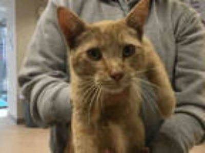 Adopt a Orange or Red Tabby American Shorthair / Mixed (short coat) cat in San