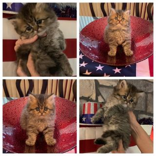 Persian kitten for sale, Pensacola