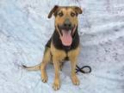 Adopt Handsome a German Shepherd Dog