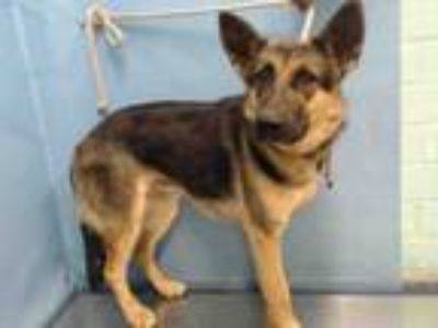 Adopt MOCHA a German Shepherd Dog