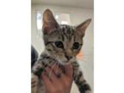 Adopt Eeyore a Gray or Blue Domestic Shorthair / Domestic Shorthair / Mixed cat