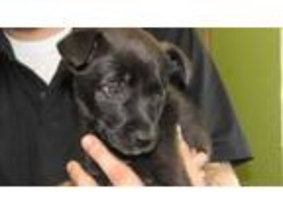 Adopt Pearl a Black Labrador Retriever / Mixed dog in West Memphis