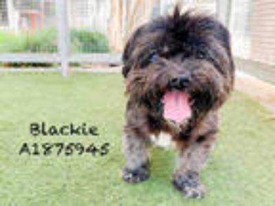 Adopt BLACKIE a Black - with Gray or Silver Mixed Breed (Medium) / Shih Tzu /