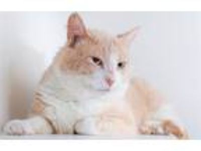 Adopt Baxter a Domestic Short Hair