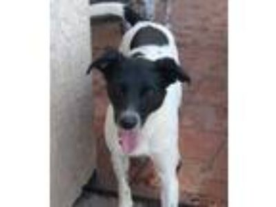 Adopt Lucy a Border Collie, German Shorthaired Pointer