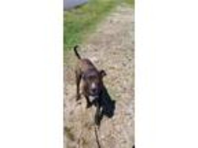 Adopt Big Ox a Brown/Chocolate American Staffordshire Terrier / Mixed dog in