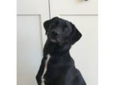 Adopt ****Courtesy****Louie a Labrador Retriever, Whippet