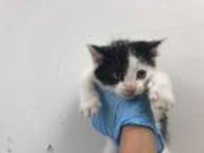Adopt PEEWEE a White (Mostly) Domestic Shorthair / Mixed (short coat) cat in San