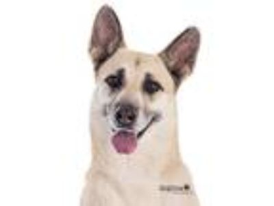 Adopt Oma a German Shepherd Dog