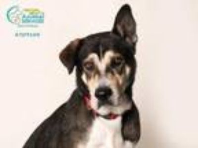 Adopt DUKE a Australian Cattle Dog / Blue Heeler, German Shepherd Dog
