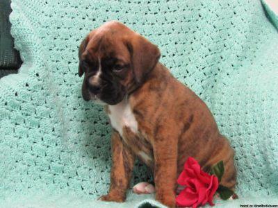 ACA registered Boxer puppies