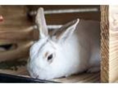 Adopt Sir Hayworth a English Spot / Mixed rabbit in Napa, CA (25408064)