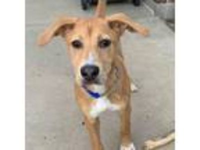Adopt Pluto a Tan/Yellow/Fawn Labrador Retriever / Beagle dog in Evansville