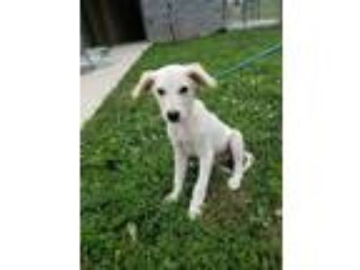 Adopt Harry a Shepherd (Unknown Type) / Hound (Unknown Type) dog in SMITHVILLE