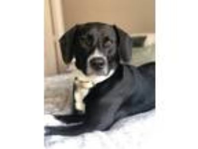 Adopt Scout a Black - with White Hound (Unknown Type) / Border Collie dog in St