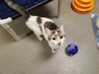 Adopt *SHASTA* a White (Mostly) Domestic Shorthair / Mixed (short coat) cat in