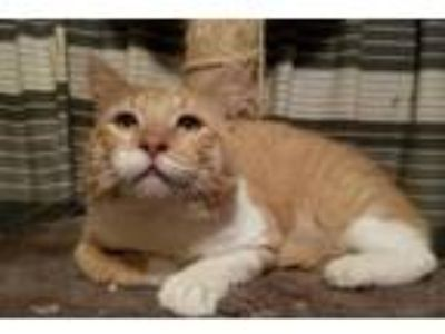 Adopt Neil a Domestic Medium Hair, Domestic Long Hair