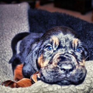 Bloodhound PUPPY FOR SALE ADN-65013 - Black Creek Bloodhounds