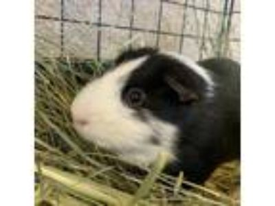 Adopt Evan a Black Guinea Pig (short coat) small animal in Burlingame