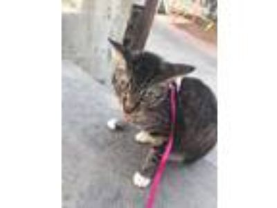 Adopt Lilie Josephine a Brown or Chocolate (Mostly) American Wirehair cat in San