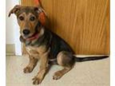 Adopt Brody a Brown/Chocolate Hound (Unknown Type) / Mixed dog in Philadelphia
