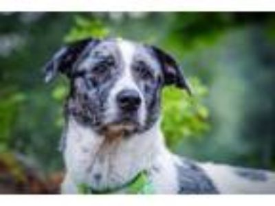 Adopt Cody -Adoption Pending a Catahoula Leopard Dog, Mixed Breed