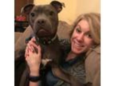 Adopt Wesley a Gray/Blue/Silver/Salt & Pepper American Staffordshire Terrier /